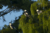Swallow-Tailed Kites Roosting, Lake Woodruff NWR, Florida Photographic Print by Maresa Pryor
