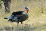 Wild Turkey Tom in Spring Breeding Plumage in Arizona Highlands Photographic Print by Richard Wright