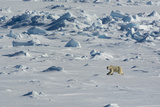 Norway. Svalbard. Hinlopen Strait. Polar Bear Walking on the Drift Ice Photographic Print by Inger Hogstrom