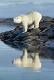 Canada, Nunavut, Repulse Bay, Polar Bears Standing Along the Shore Photographic Print by Paul Souders