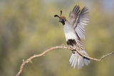 USA, Arizona, Buckeye. Female Gambel's Quail Raises Wings on Branch Papier Photo par Wendy Kaveney