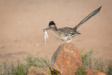 Arizona, Santa Rita Mountains. a Greater Roadrunner on Rock with Prey Photographic Print by Wendy Kaveney