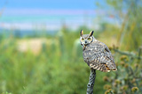 Great Horned Owl, also known as the Tiger Owl Reprodukcja zdjęcia autor Richard Wright