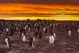 Falkland Islands, Sea Lion Island. Gentoo Penguins Colony at Sunset Photographic Print by Cathy & Gordon Illg