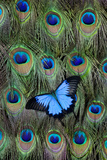 Blue Mountain Swallowtail Butterfly on Peacock Tail Feather Design Photographic Print by Darrell Gulin