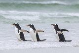 Gentoo Penguin on the Falkland Islands, Walking into the Surf Photographic Print by Martin Zwick