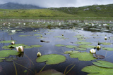 Isle of Lewis, European White Water Lily in Pond. Scotland Photographic Print by Martin Zwick