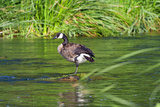 Canada Goose on the Los Angeles River, Los Angeles, California Photographic Print by Peter Bennett