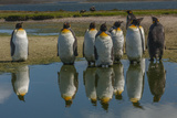 Falkland Islands, East Falkland. King Penguins Reflecting in Water Photographic Print by Cathy & Gordon Illg