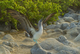 Ecuador, Galapagos NP, San Cristobal. Blue-Footed Booby Displaying Photographic Print by Cathy & Gordon Illg