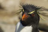 Falkland Islands, Saunders Island. Rockhopper Penguin Portrait Photographic Print by Cathy & Gordon Illg