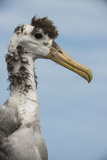 Waved Albatross, Espanola Island Galapagos Islands, Ecuador, Endemic Photographic Print by Pete Oxford
