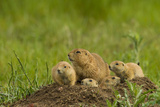 Colorado, Rocky Mountain Arsenal NWR. Prairie Dog Family on Den Mound Photographic Print by Cathy & Gordon Illg