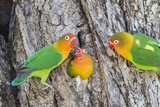 A Fischer's Lovebird Feeds its Mate in a Nest. Ngorongoro, Tanzania Photo by James Heupel