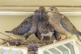Sheltered Nesting Space and Mourning Dove Family Atop a Security Light Lámina fotográfica por Michael Qualls