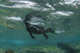 Marine Iguana Underwater, Fernandina Island, Galapagos, Ecuador Photographic Print by Pete Oxford
