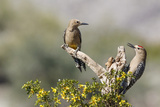 Arizona, Buckeye. Male and Female Gila Woodpeckers on Cholla Skeleton Photographic Print by Wendy Kaveney