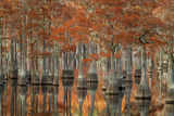 USA, Georgia, Autumn, Cypress Trees at George Smith State Park Photographic Print by Joanne Wells