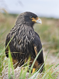 Striated Caracara (Phalcoboenus Australis), Falkland Islands Photographic Print by Martin Zwick