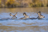 Wyoming, Sublette Co, Mule Deer Does and Fawn Swimming across a Lake Photographic Print by Elizabeth Boehm