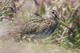 South American Snipe or Magellan Snipe in Dense Grass Photographic Print by Martin Zwick