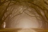 Georgia, Savannah, Fog and Oaks Along Drive at Wormsloe Plantation Photographic Print by Joanne Wells