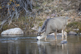 Wyoming, Sublette County, Mule Deer Buck Drinking Water from River Photographic Print by Elizabeth Boehm