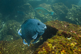 Giant Damselfish (Microspathodon Dorsalis) Galapagos Islands, Ecuador Photographic Print by Pete Oxford