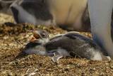 Falkland Islands, East Falkland. Close-up of Gentoo Penguin Chicks Photographic Print by Cathy & Gordon Illg