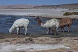 Chile, Pakana, Semi-Wild Llamas Drinking at the Tara Salt Lake Photographic Print by Mallorie Ostrowitz