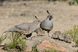 USA, Arizona, Amado. Male and Female Gambel's Quail with Chicks Papier Photo par Wendy Kaveney