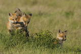 Red Fox Kits Playing with Bird Wing Photographic Print by Ken Archer