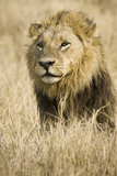 Okavango Delta, Botswana. Close-up of Male Lion Photo by Janet Muir