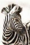 Etosha NP, Namibia, Africa. Close-up of a Young Mountain Zebra Foto von Janet Muir