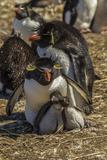 Falkland Islands, Bleaker Island. Rockhopper Penguin Family Photographic Print by Cathy & Gordon Illg