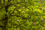 USA, California, Redwoods National Park. Rhododendrons in Forest Photographic Print by Cathy & Gordon Illg