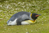 Falkland Islands, East Falkland. King Penguin Lying on Grass Photographic Print by Cathy & Gordon Illg