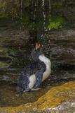 Falkland Islands, Saunders Island. Rockhopper Penguin Bathing Photographic Print by Cathy & Gordon Illg
