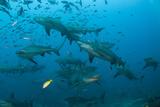 Bull Shark, Commercial Shark Feeding, Benga Lagoon, Viti Levu, Fiji Photographic Print by Pete Oxford