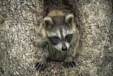 Minnesota, Sandstone. Raccoon in a Hollow Tree Photographic Print by Rona Schwarz