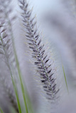 California, Palm Springs, Indian Canyons. Close Up of Desert Grass Photographic Print by Kevin Oke