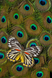 Underside of Delias Butterfly on Peacock Tail Feather Design Photographic Print by Darrell Gulin