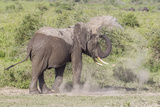 Elephant Taking a Dust Bath, Spraying Dust on its Head with its Trunk Photo by James Heupel