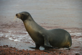 Galapagos Sea Lion Emerging onto the Beach, Galapagos, Ecuador Photographic Print by Pete Oxford