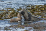 Falkland Islands, Bleaker Island. Southern Sea Lions Near Water Photographic Print by Cathy & Gordon Illg