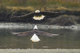 Alaska, Chilkat Bald Eagle Preserve. Bald Eagles Fighting in the Air Fotografie-Druck von Cathy & Gordon Illg