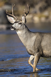 USA, Wyoming, Sublette County, Mule Deer Buck Crossing River Photographic Print by Elizabeth Boehm