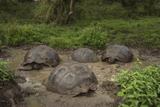 Galapagos Giant Tortoise Santa Cruz Island Galapagos Islands, Ecuador Photographic Print by Pete Oxford