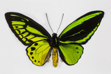 Common Green Birdwing Butterfly, Comparing the Top Wing and Bottom Photographic Print by Darrell Gulin