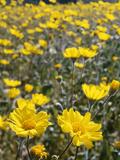 California, Anza Borrego Desert State Park, Desert Sunflowers Photographic Print by Christopher Talbot Frank